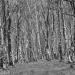 Silver-Birch-Woodland